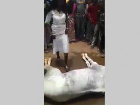 Vidéo - Afrique et sa tradition : Un cheval souffre de maux de ventre, pour le guérir il faut qu'une fille vierge ou une femme fidèle à son mari, passe dessus...Regardez ce qui se produit