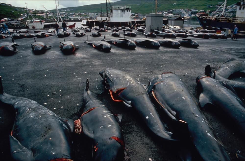 Photos - L'horreur du massacre de baleines et dauphins aux îles Féroé  %Post Title