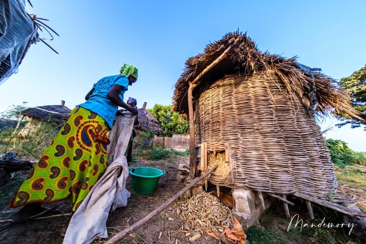 Moisson du mil à Ndengler : Les villageois affichent le sourire